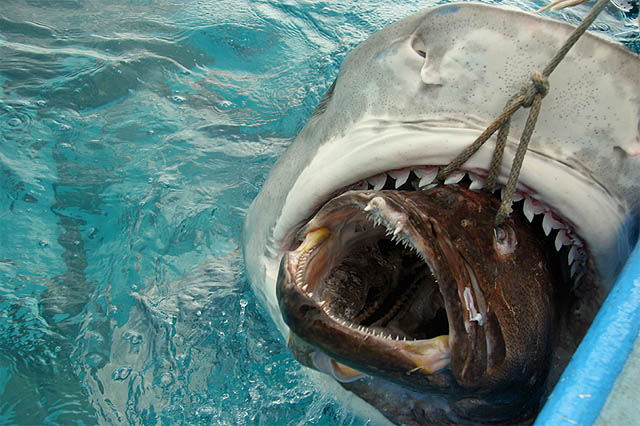 bull shark attacking. For me Bull sharks are the